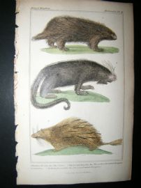 Cuvier C1835 Antique Hand Col Print. The Urson, Prehensile Tailed, Porcupine, The Pencil Tailedn Porcupine, 41
